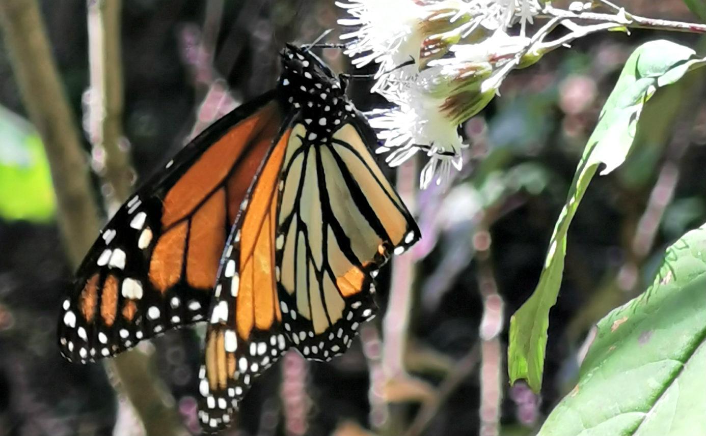 Motyl Monarcha na kwiatku