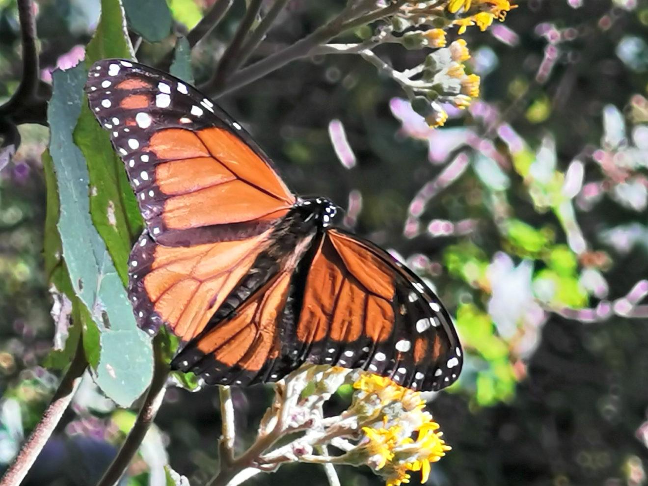 Motyl Monarcha w Meksyku na kwiatku